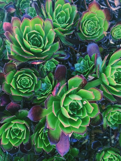 Succulent ❤️ Naturephotography Personal Perspective Nature Nature On Your Doorstep Nature Photography Naturelover Nature_collection Nature_perfection Plants And Flowers Succulents Plant Plants Plants 🌱 Natures Diversities Sacredgeometry