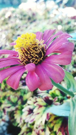 Flower Nature Plant Fragility Petal Flower Head Beauty In Nature Pink Color Outdoors No People Uncultivated Insect Day Close-up Tranquility Freshness Growth Pollination Animal Themes Eastern Purple Coneflower