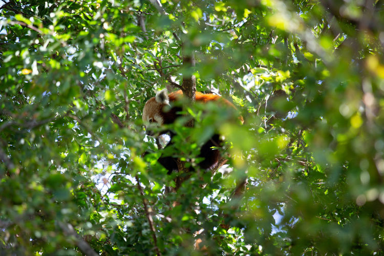 Animal Themes Animal Animal Wildlife Tree Animals In The Wild Plant One Animal Mammal Primate Nature No People Selective Focus Day Green Color Monkey Plant Part Leaf Branch Forest Vertebrate Outdoors Rainforest Panda Panda - Animal Red Panda