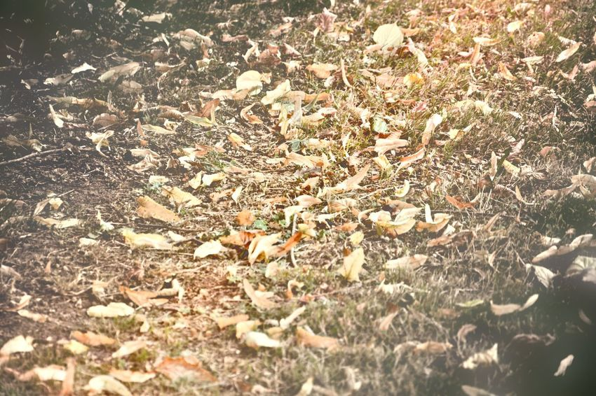 Abundance Autumn Beauty In Nature Change Day Fallen Field Fragility Full Frame High Angle View Land Large Group Of Objects Leaf Leaves Messy Natural Condition Nature Non-urban Scene Outdoors Petal Season  Surface Level Tranquility