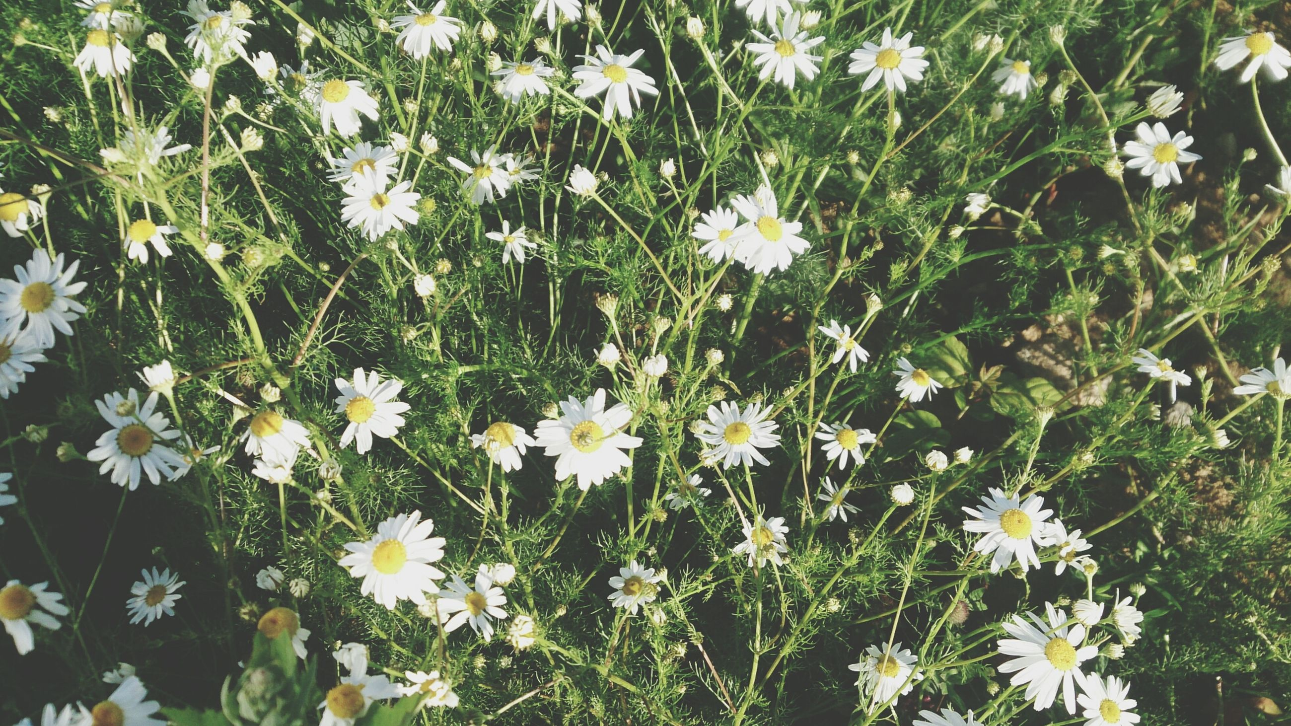 flower, freshness, growth, daisy, fragility, white color, petal, beauty in nature, plant, flower head, blooming, nature, high angle view, green color, field, leaf, in bloom, white, wildflower, day