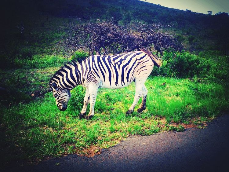 Nature Reserve Zebra South Africa Saint Lucia KZN Kzn Wildlife Wildlife Photography Nature Wild Animal