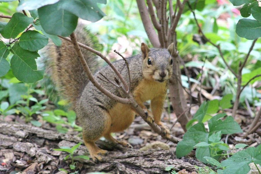 One Animal Animals In The Wild Animal Wildlife Animal Themes Nature Full Length Outdoors Day No People Close-up Mammal My Hobby 😁 MyPhotography Photographic Memory Canonphotography Canon_photos Squirrelwatching Squirrel Squirrel Photography Squirrel Closeup Photooftheday Portrait Posing Squirrel