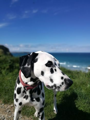 Dalmatian Dog Dogslife Dog Beach Life Bestfriend Cornwall Beach Cornwall Life Newquay Beach Watergate Bay Pet Portraits