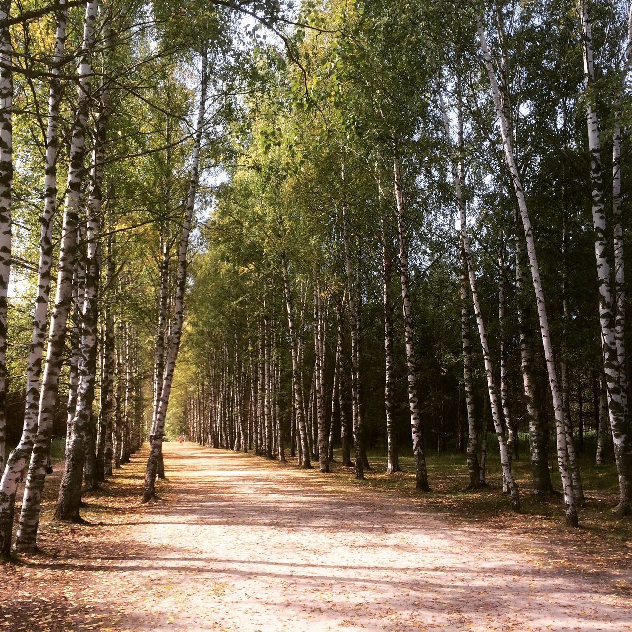 tree, forest, nature, the way forward, tranquil scene, tranquility, beauty in nature, growth, no people, outdoors, scenics, day