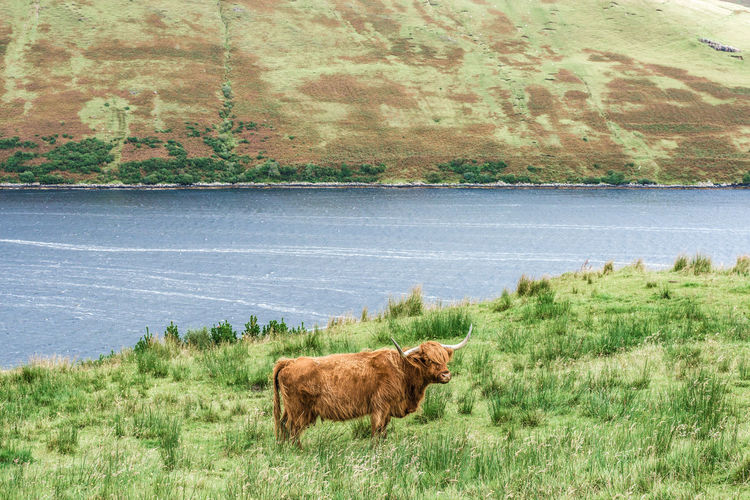 Cow standing on field by lake against sky