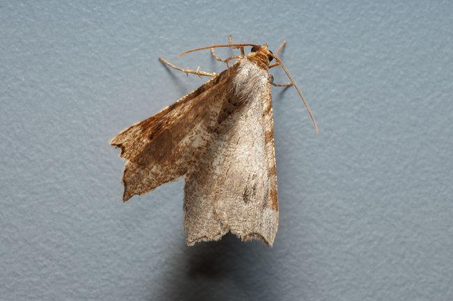 Weißgrauer Kiefernspanner Butterfly First Eyeem Photo Geometridae Insect Lepidoptera Motte School Weißgrauer Kiefernspanner