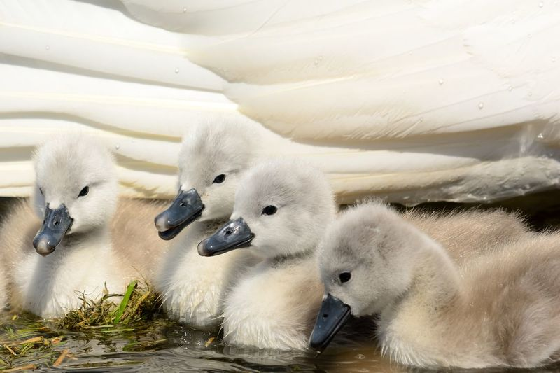 Close-Up Of Cygnets Swimming In Water
