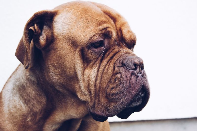 EyeEm Selects Dog Pets Mammal One Animal Domestic Animals Close-up White Background Animal Themes Indoors  Day No People
