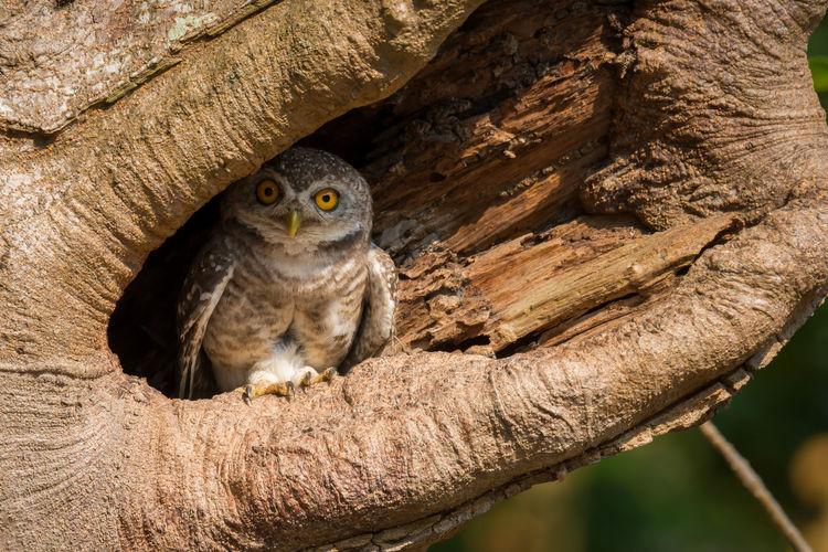 Portrait of owl sitting in tree hollow