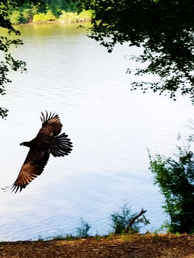 Juvenile Bald Eagle in flight Animal Wildlife Flying Spread Wings Nature Outdoors Bird Of Prey Beauty In Nature Bald Eagle Animals In The Wild One Animal Water Bird Lake Animal No People