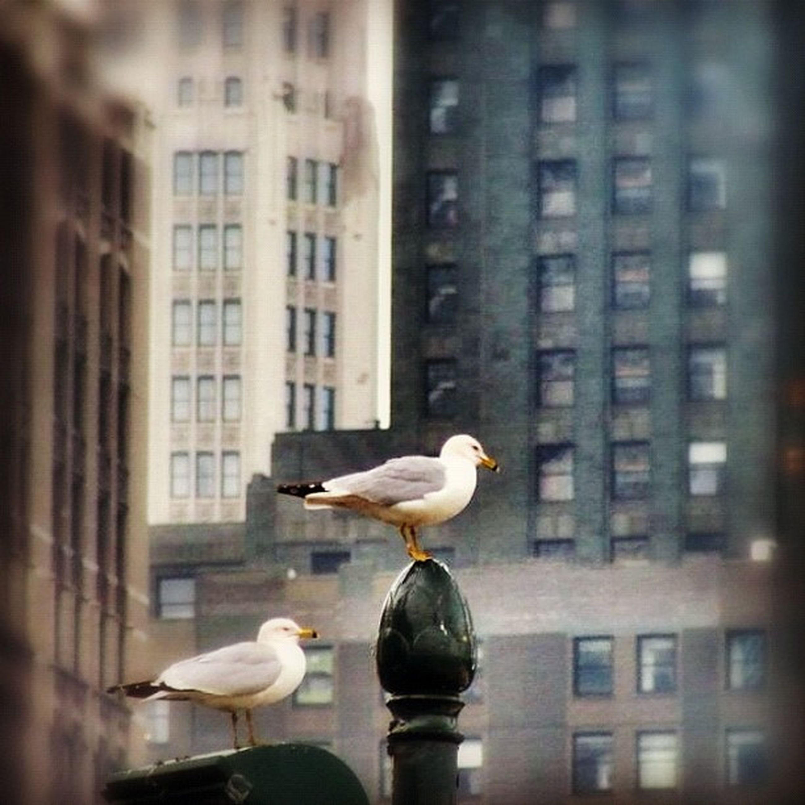 bird, animal themes, animals in the wild, building exterior, wildlife, architecture, built structure, seagull, city, one animal, perching, pigeon, spread wings, two animals, flying, building, outdoors, swan, side view, beak