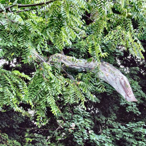 Repost of this misidentified web. Not a spider web. It is a Fall webworm tent. Fall Webworm Tent Caterpillar Life Tree Green Color Nature Growth Plant Part Beauty In Nature
