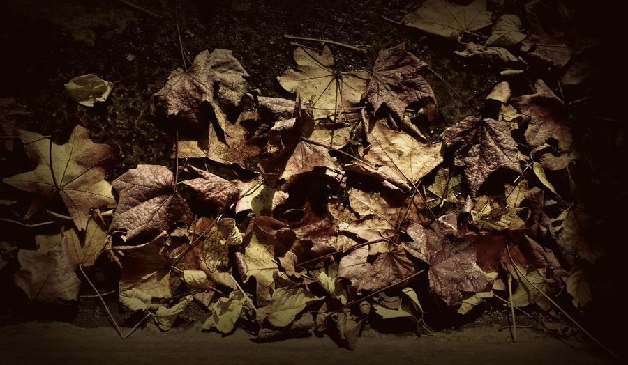 Recuerdos del último otoño // Memories of the last autumn Leaf Nature Leaves Autumn Fragility Vulnerability  Falling Leaf Vein Maple Leaf