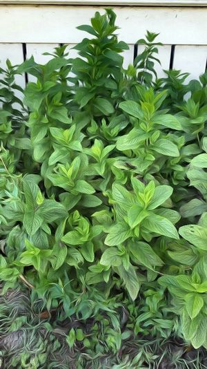 Yerba Buena Mint Leaf Mint Leaves Herb Gardening Greenery Nature Photography Nature_collection Picture Editing
