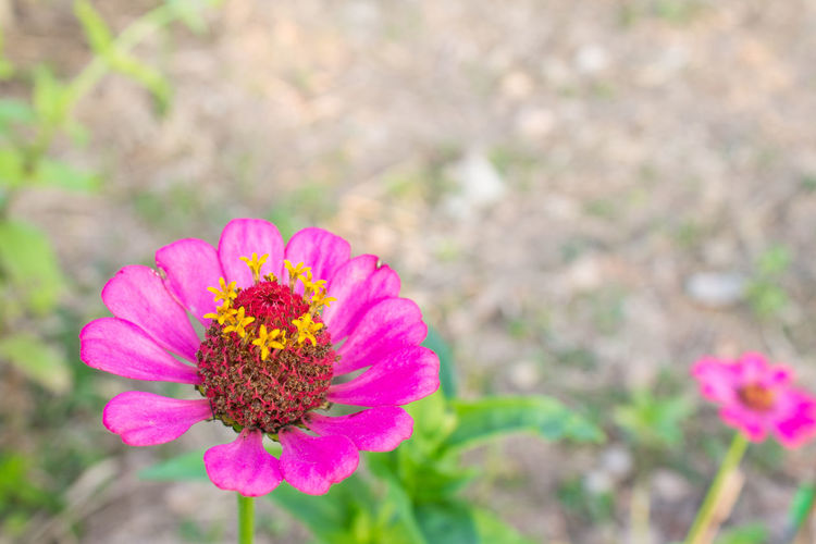 Pink Zinnia Flower at Bottom Left Closeup Zinnia  Beauty In Nature Close-up Day Flower Flower Head Flowering Plant Focus On Foreground Fragility Freshness Growth Inflorescence Nature No People Petal Pink Color Plant Pollen Vulnerability  Zinnia  Zinnia Bud Zinnia Flower Zinnia Plant Nature