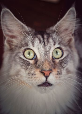 shocked face Shocked Face Cat Lovers Surprise! Hunter Cat Face Big Eyes Cat Collection Curosity And Amazement Domestic Cat Portrait Pets Looking At Camera Feline Whisker One Animal Animal Themes No People Close-up Indoors  Mammal Day