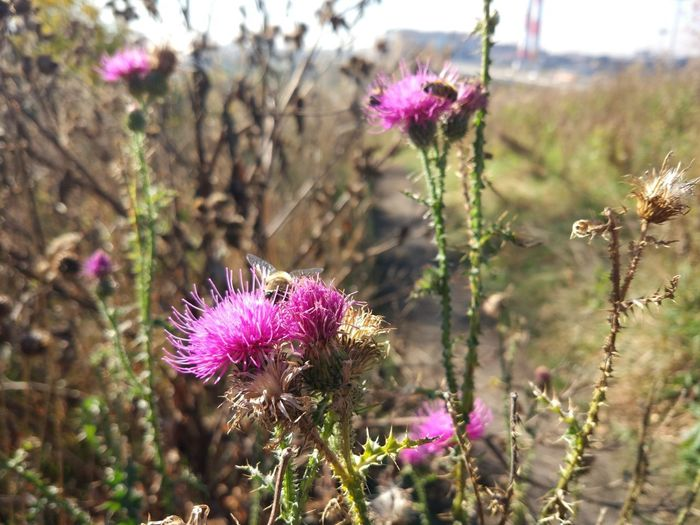Flower Flowering Plant Plant Fragility Freshness Vulnerability  Purple Beauty In Nature Growth Focus On Foreground Flower Head Nature Close-up Inflorescence Thistle Petal Pink Color Day No People Land Springtime Outdoors