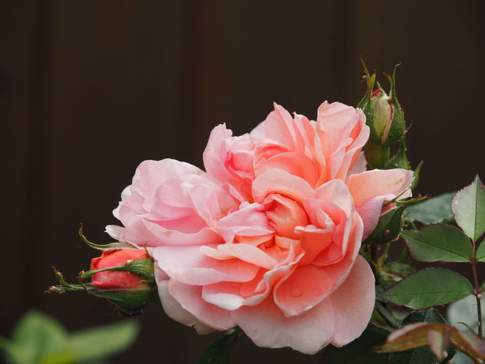 Beauty In Nature Black Background Close-up Flower Flower Collection Flower Head Flowering Plant Fragility Freshness Garden Growth Inflorescence Leaf Nature No People Outdoors Petal Pink Color Plant Plant Part Rosé Rose - Flower Vulnerability