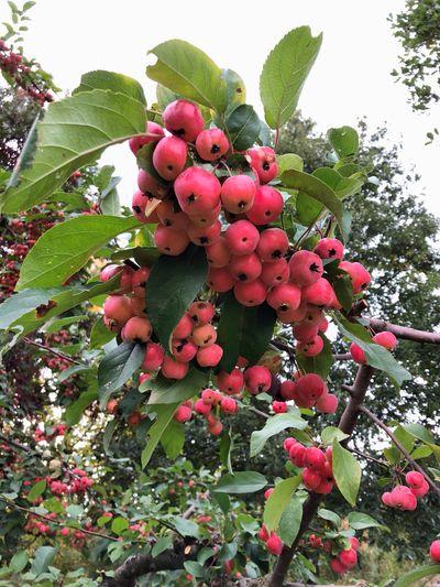 Apple Tree Fruit Plant Tree Low Angle View