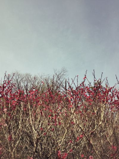 Red bloom in Japan Plant Growth Sky Flowering Plant Tranquil Scene Scenics - Nature No People Freshness Red