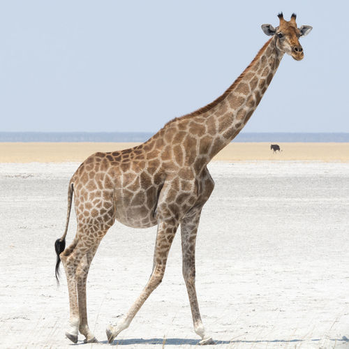 Giraffe in Namibia Africa African Animal Animals Animals In The Wild Arid Arid Landscape Beauty In Nature BIG Desert Giraffe Giraffes High Mammal Mammals Namibia Namibian Pan Salt Salt Pan Tall Tranquility Walking Wild Wildlife