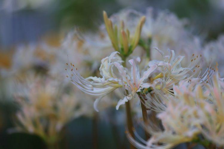 白い彼岸花♪(*´︶`*)✿