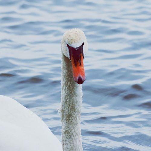 Swan, Lake.