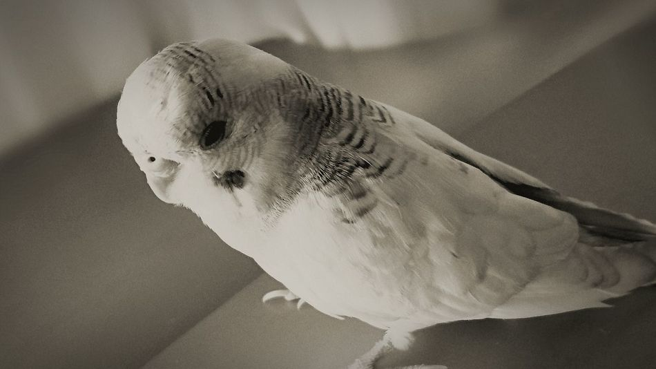 A Bird's Eye View Budgie Budgies Budgielove Budgie Collection Budgielover Pet Pet Photography  Monochrome Photography Pet Love Pet Portrait First Eyeem Photo