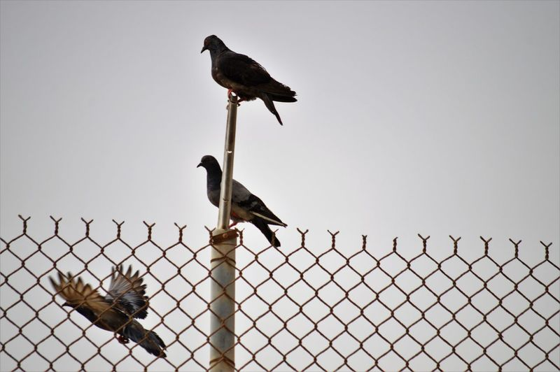 Bird Vertebrate Animal Themes Animals In The Wild Animal Animal Wildlife Group Of Animals Perching Fence Barrier Sky Boundary No People Security Two Animals Metal Chainlink Fence Safety Protection Nature