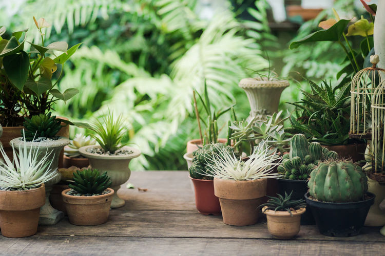 Potted Plant Growth Plant Succulent Plant Cactus No People Nature Green Color Front Or Back Yard Beauty In Nature Day Flower Pot Focus On Foreground Outdoors Botany Close-up Choice Freshness Table Houseplant Gardening
