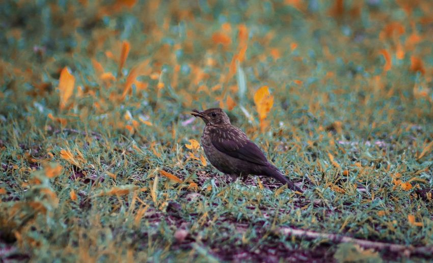 """""""Bird"""" Animal Animal Themes Bird Animals In The Wild Animal Wildlife One Animal Vertebrate Selective Focus Land Outdoors Field Bird Of Prey Side View Full Length Day Perching No People Plant Nature Grass"""