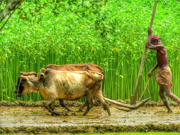 Ploughing hardly... The Great Outdoors - 2015 EyeEm Awards The Photojournalist - 2015 EyeEm Awards Farmers Working Hard Beautiful Bangladesh EyeEm Bangladesh Village Life