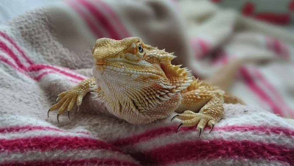 Lizard Tetzuo I Love My Pet