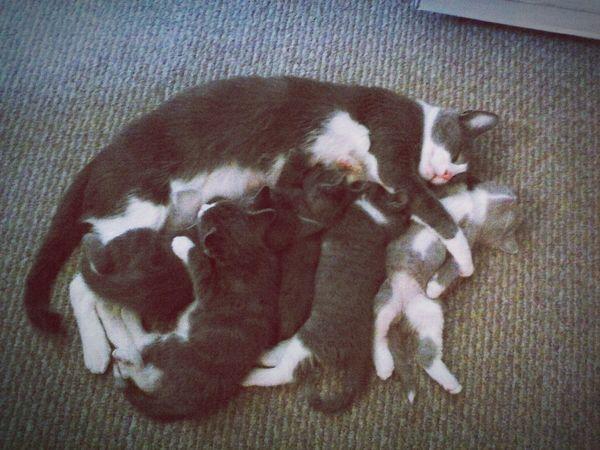 Cat Kitten Sleeping Sleepy Kitty Kitten Napping Mothet Cat With Kittens Cat Feeding Kittens Mom Cat Mother Cat Kittens Eating Pet Portraits