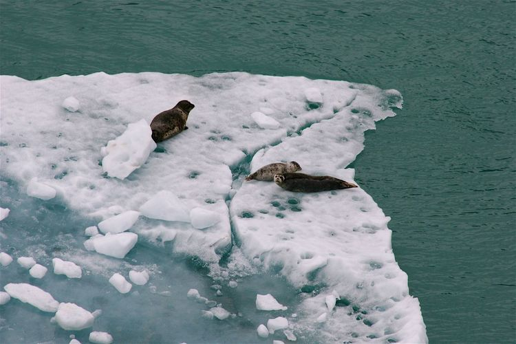 Seals basking in the sun on the floating ice in alaska.