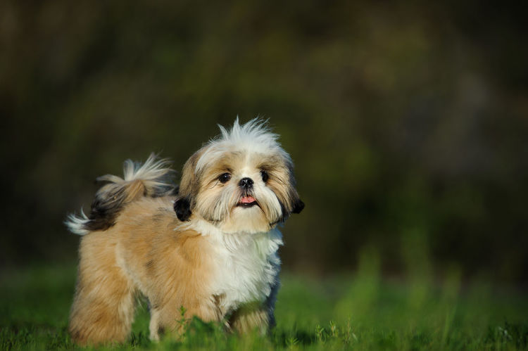 Shih Tzu dog Animal Themes Canine Dog Little Dog Natural Light No People Outdoors Shih Tzu