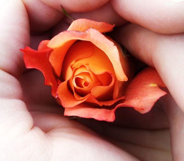 Roses  Beauty Flower