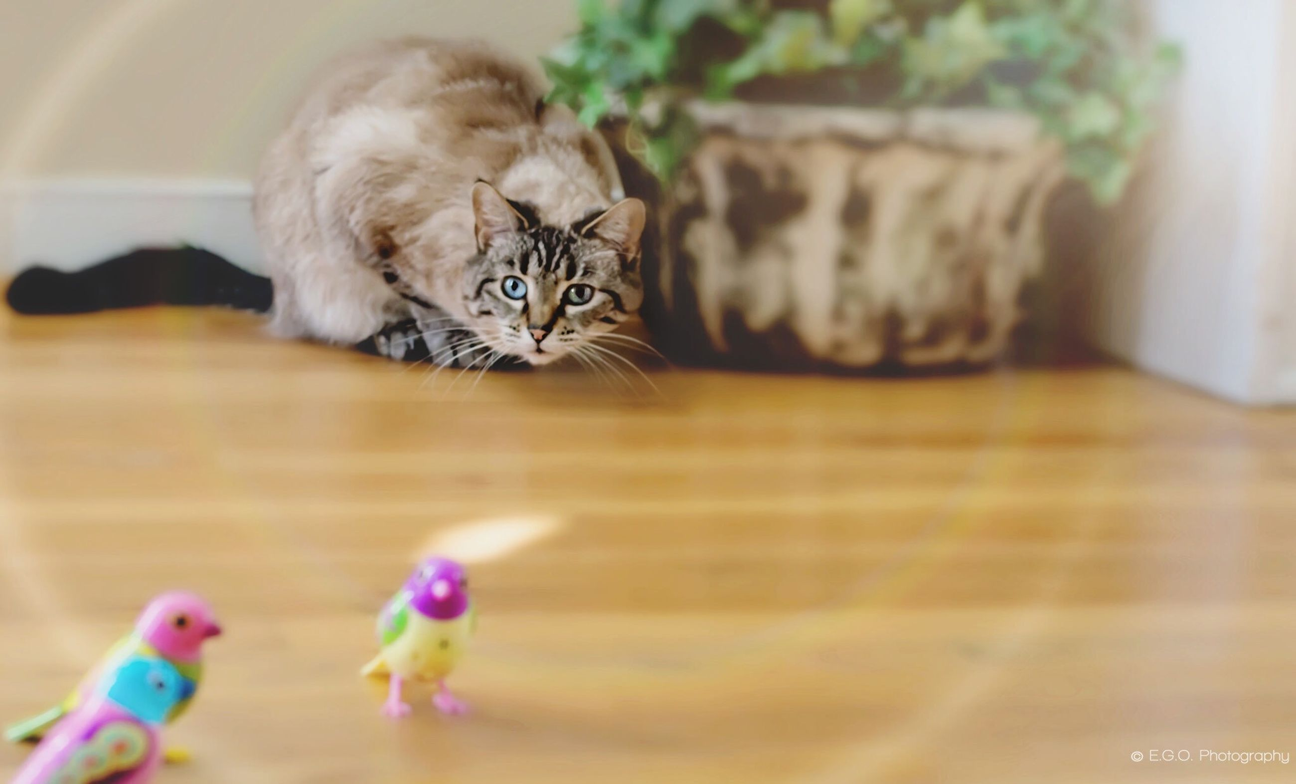 one animal, animal themes, pets, domestic animals, domestic cat, mammal, indoors, flower, cat, feline, relaxation, high angle view, full length, home interior, table, close-up, no people, flooring, selective focus, wood - material