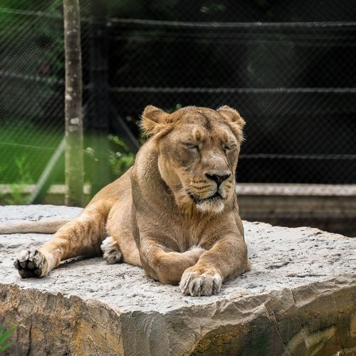 Full length of lioness relaxing on rock at zoo