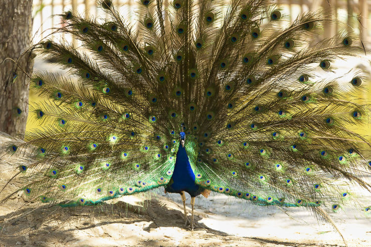 Male peacock with outstretched wings in his bridal courtship. Colors Ritual Animal Animal Themes Animal Wildlife Animals In The Wild Beauty In Nature Bird Birds Blue Coloful Day Fanned Out Feather  Field Majestic Male Animal Nature No People One Animal Outdoors Peacock Peacock Feather Plumage Vertebrate