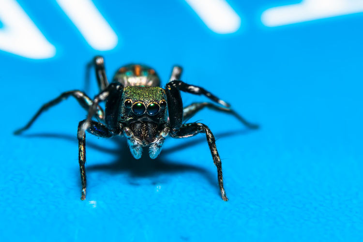 Jumping Spider On Blue Surface