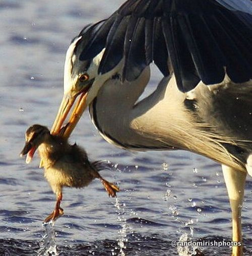 The Moment - 2014 EyeEm Awards this was the moment a heron managed to snatch a mother's ducking in Bray Harbour, Co Wicklow. Despite a fight by the mother, the heron eventually won. Nature Ireland Eye4photography