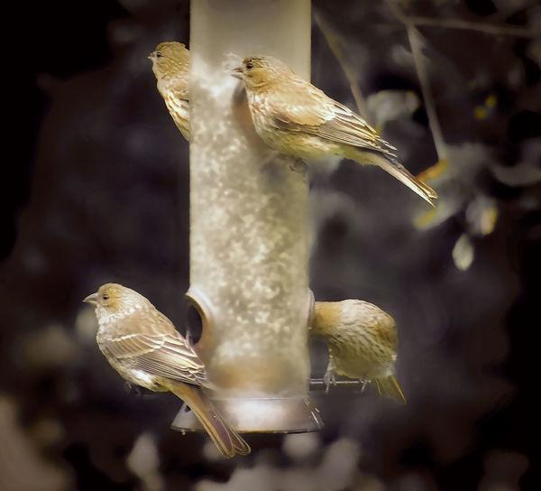 4 Birds EyeEm Bird Lover  Finches On A Feeder Animal Themes Bird Bird Feeder Hanging Close-up Spread Wings