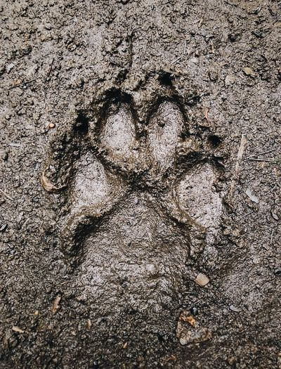 Mud Paw Print Paw Wolf Tracks Dog Tracks Wolf Coyote Print Full Frame Close-up People Backgrounds Nature