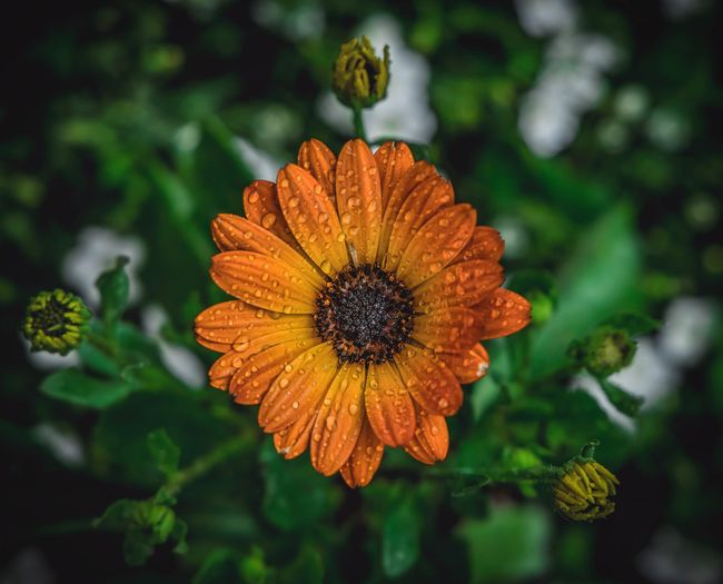Osteospermum Osteospermum Flower Flowering Plant Flower Head Inflorescence Plant Fragility Freshness Close-up Focus On Foreground Growth Beauty In Nature Petal Vulnerability  Orange Color No People Nature Day Outdoors