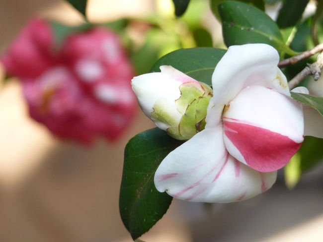 Camellia Camellia Beauty In Nature Camellia Flower Camellia Flowers Close-up Day Flower Flower Head Flowering Plant Focus On Foreground Fragility Freshness Growth Inflorescence Leaf Nature No People Outdoors Petal Pink Color Plant Plant Part Vulnerability  White Color