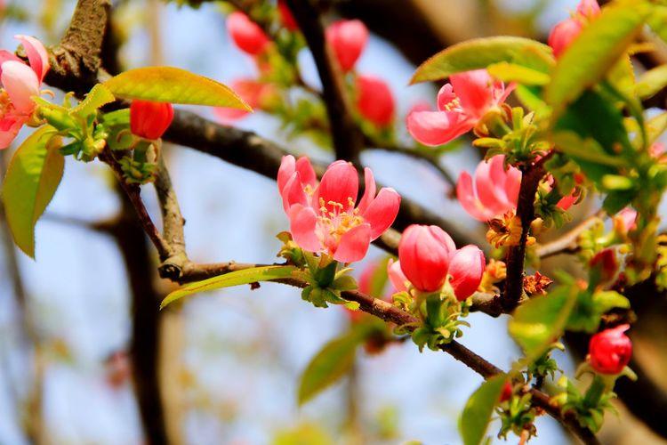 カリン Flower Tree Flower Head Branch Pink Color Close-up Sky Plant Botany