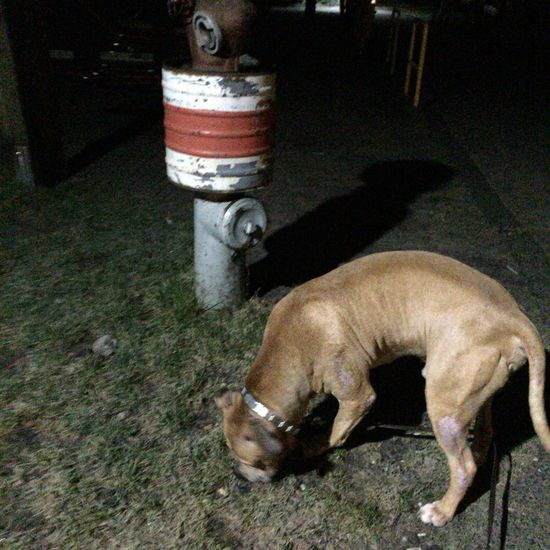 3D Art =mySEENE= =PACO= Depht Dog Pets Pitbull