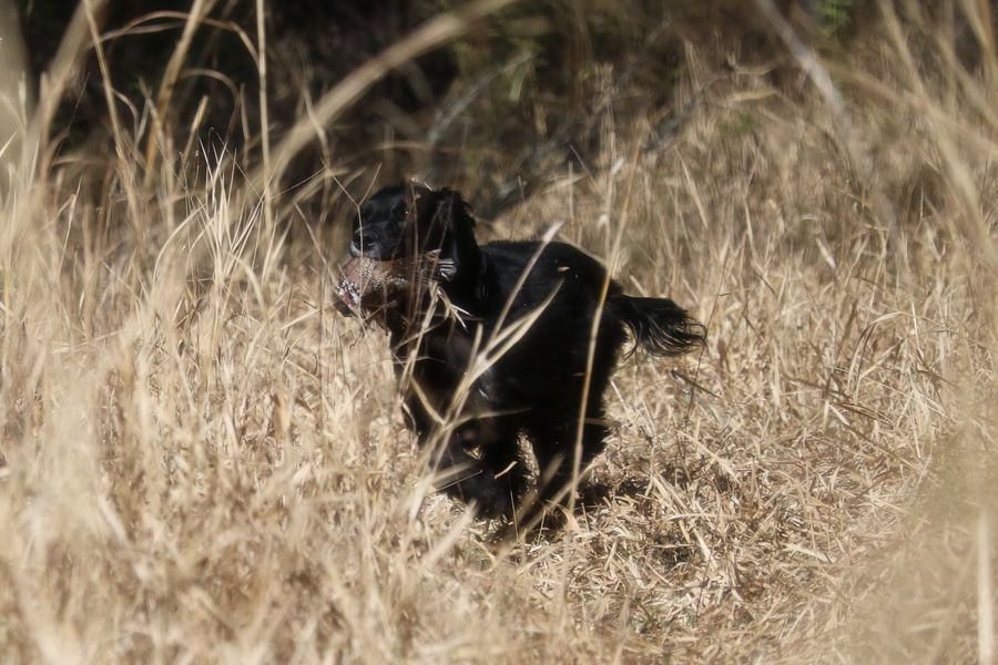 Action Shot  Bird Hunting  Birddog Dog Dog Training Domestic Animals English Cocker Spaniel Field Dog Gundog Human Hand Hunt Season Hunting Man And His Dog Nature Pets Quail Training Waterfowl Woods